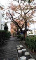真間桜並木5