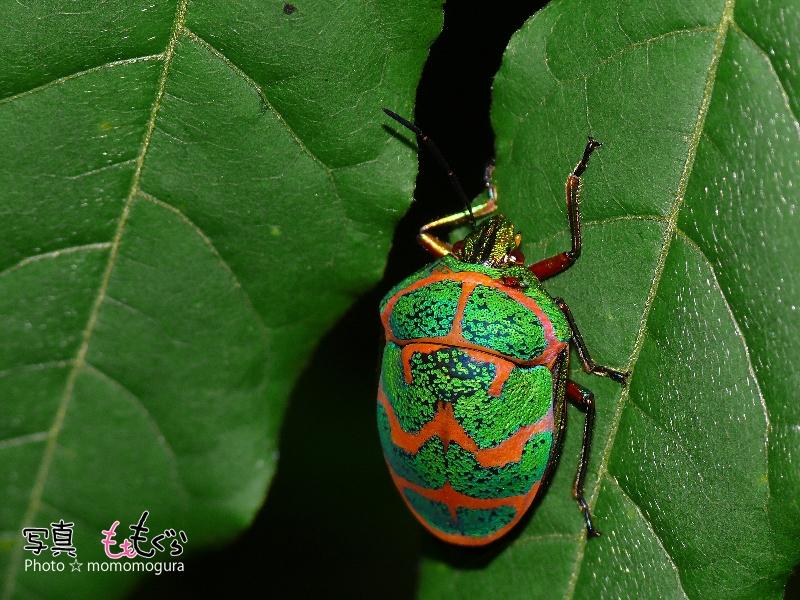 アカスジキンカメムシ成虫