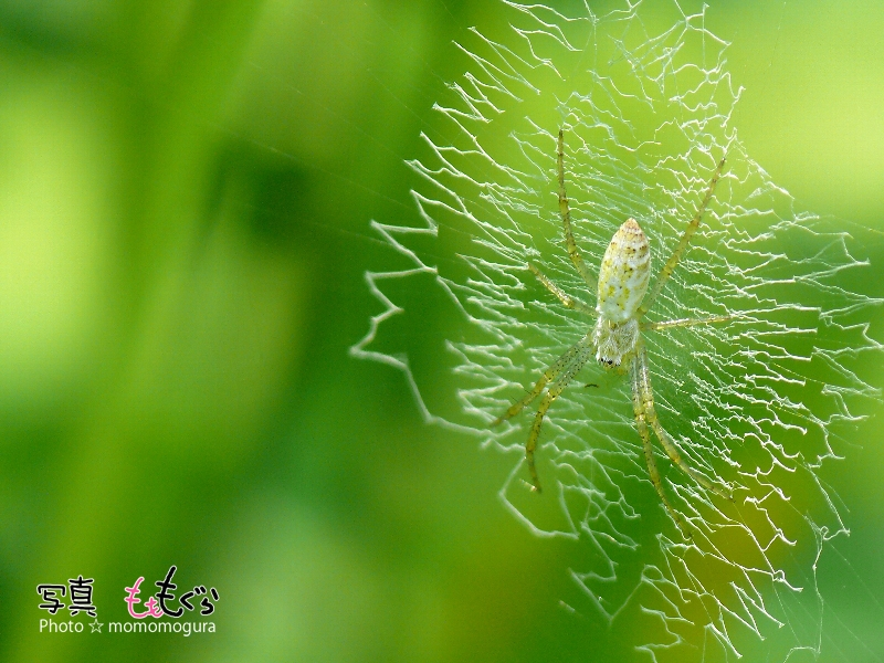 ナガコガネグモ幼体