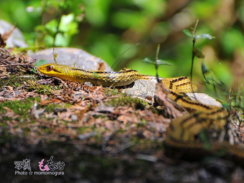 DSC_96900シマヘビ