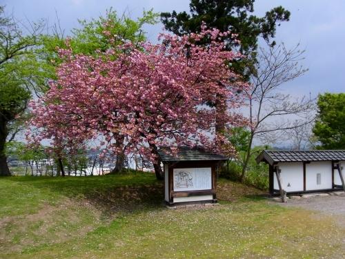 3花巻桜 (1200x900)