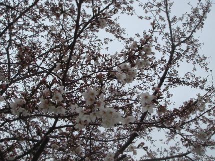 20110403sakura.jpg