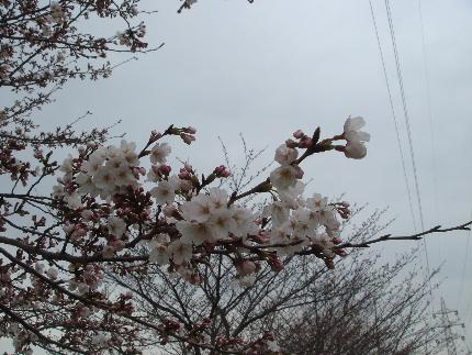 20110403sakura2.jpg