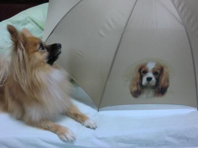 キャバリアの傘