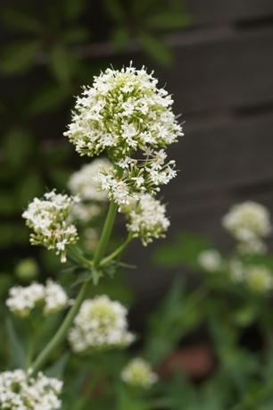 白い小花がバラを引き立てます♪