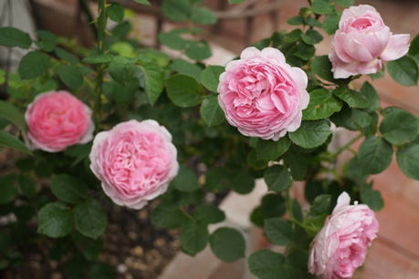 ライラックローズも花盛りっ!