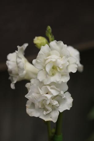 八重咲きキンギョソウ<アザレアホワイト>