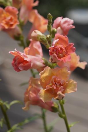八重咲きキンギョソウ(アプリコット)