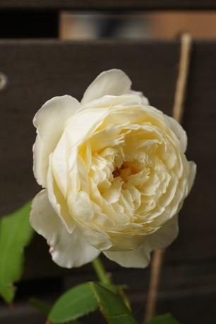 クレア・オースチンも咲いてます♪