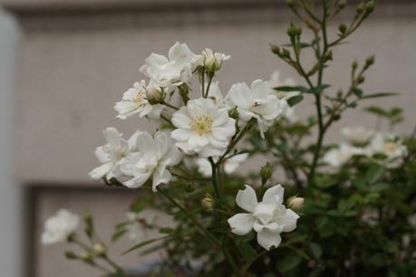 レンゲローズもまだ咲いてます♪