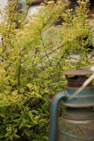 八重咲きコデマリの無数の蕾っ(*´艸`*)