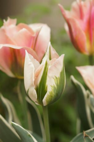 咲き始めは白っぽく