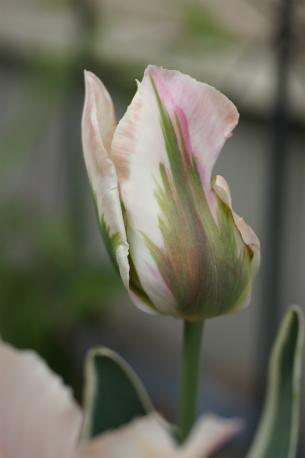 花びらのスジが素敵っ☆*。