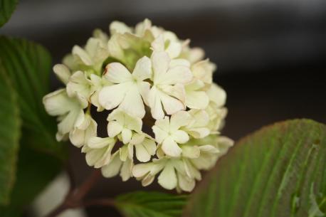 オオデマリ 開花♪
