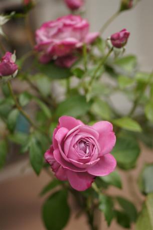 ブルーリバー 2番花