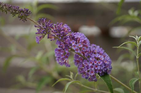 ブッドレア 開花♪