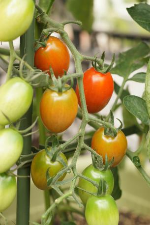 トマトが色づいてきました♪