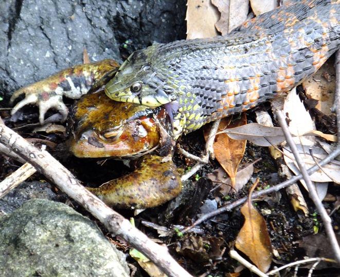 2-蛇 蛙