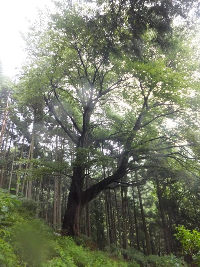 15-下大山桜