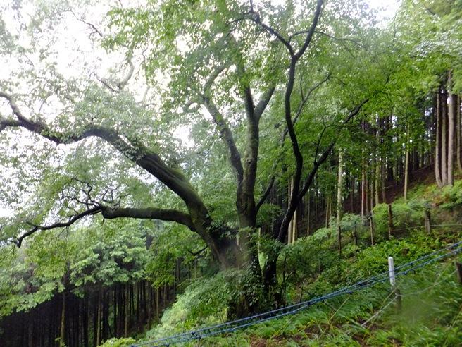16-上大山桜-1