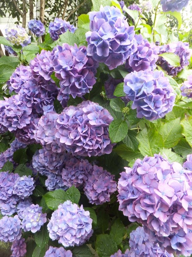 19-紫陽花