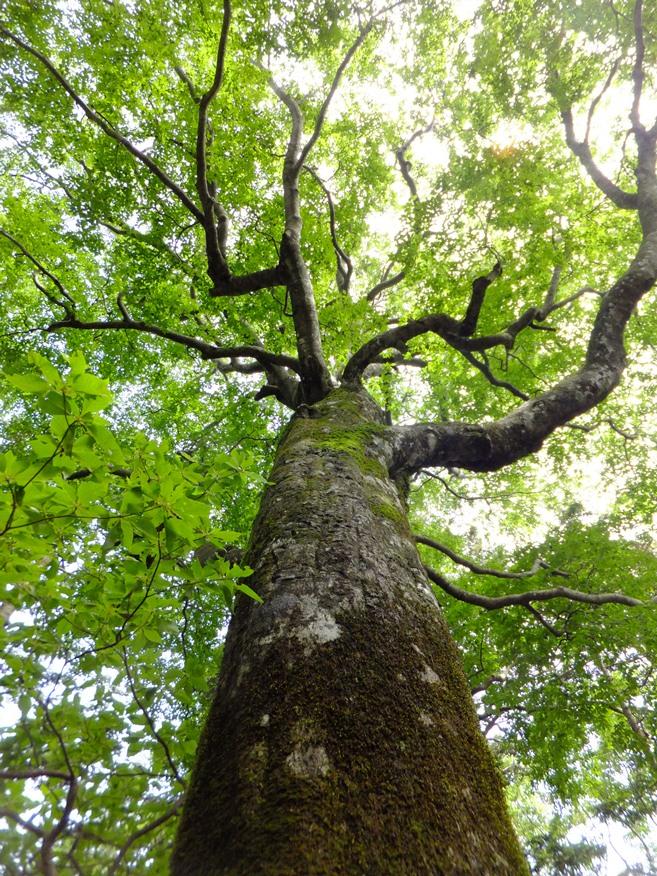 9-ブナ大樹