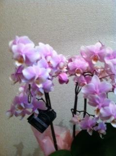 蘭の花 __