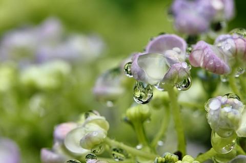 梅雨の雫 1