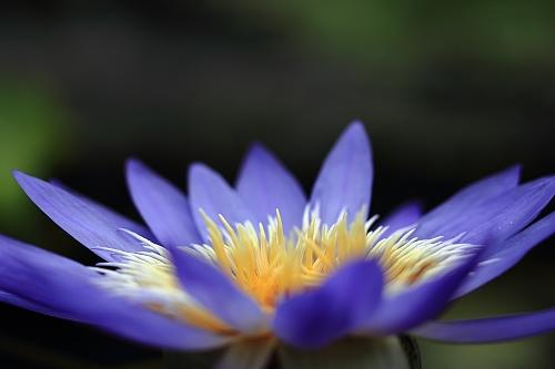 水生植物園睡蓮