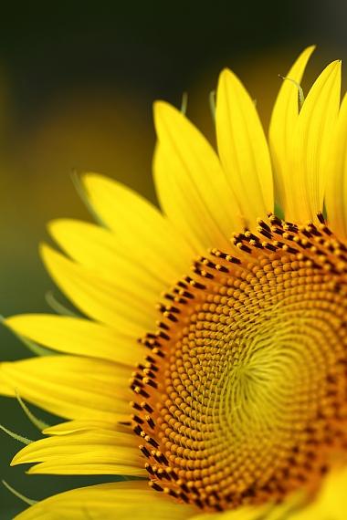 なぎさ公園向日葵 ④