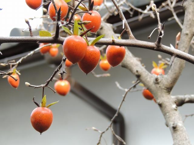 N3565翁柿