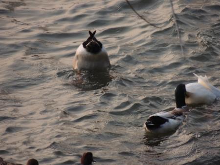 N3484鴨たち