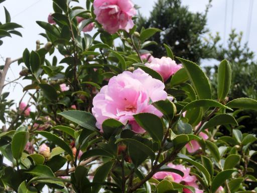 ピンクの山茶花3