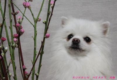 瑠妃(ルビー)と桃の花