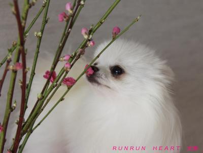 夢命(ゆめめ)と桃の花