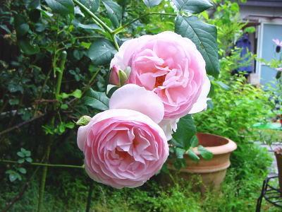 english-rose.jpg
