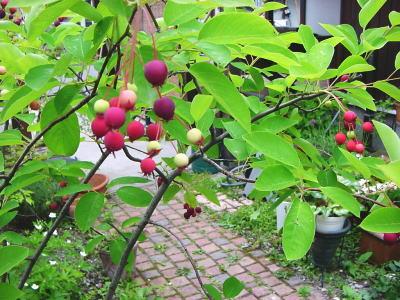 june-berry.jpg