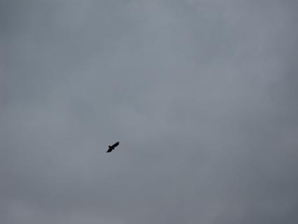 スリランカ鷹