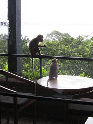 スリランカ猿