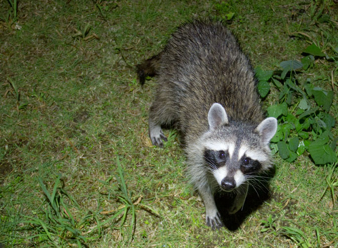 raccoon02.jpg