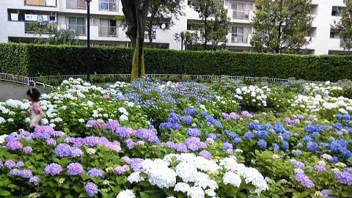 公園の紫陽花1