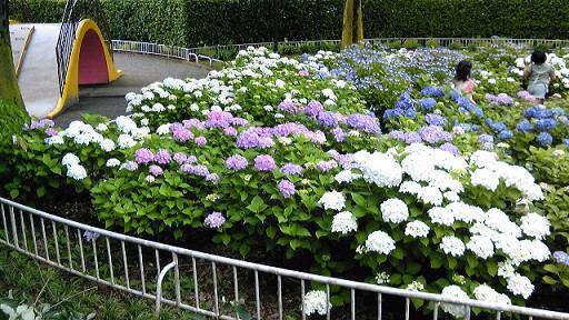 公園の紫陽花3