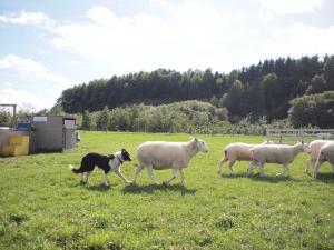 31.牧羊犬と羊