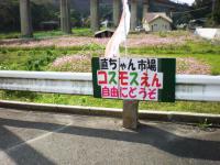 kosumosu04.jpg