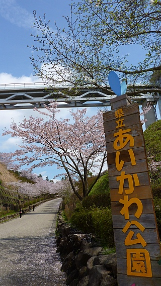 あいかわ公園 桜