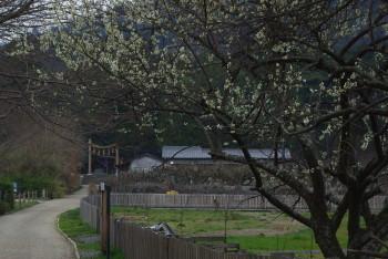 スモモと桧原神社