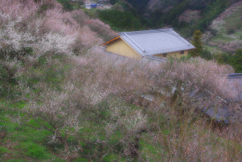 賀名生梅林2011-3