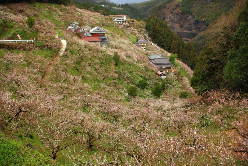 賀名生梅林2011-2