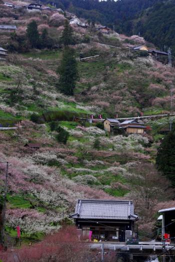 賀名生梅林2011