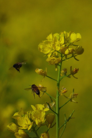 ミツバチ01